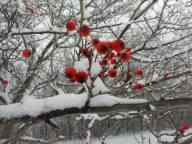 winter red berries