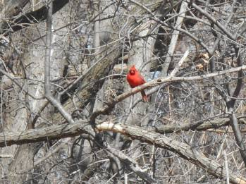 Cardinal red on an afternoon walk along the railroad bed... it was easy to see this little bit of red in all that gray beige backdrop...3-19-15-