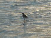 bird with a bit of sunset in the surf