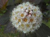 flowering bush on Oak Ave. 6-4-17--