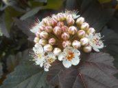 flowering bush on Oak Ave. 6-4-17..