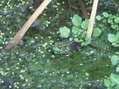 frog in puddle off Pine Tree Rd.