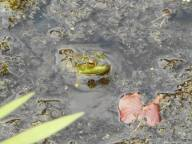 frog pond.-