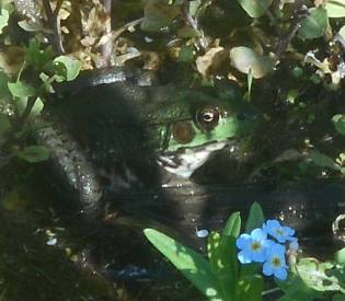 frog twangs off and on around the little pool...