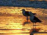gulls in sunset surf at Roger Wheeler Park- Rhode Island