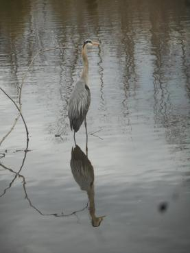Heron at Sapsucker Woods 4-12-16