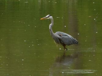 heron wading in a pool off Fall Creek in Stewart Park and saw it make attempt after attempt to catch fish and perhaps it was but I could not tell for sure... 5-30-17.