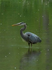 heron wading in a pool off Fall Creek in Stewart Park and saw it make attempt after attempt to catch fish and perhaps it was but I could not tell for sure... 5-30-17--