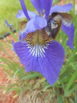 iris on pathway garden across the street- 6-5-17