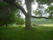 tree and picnic table...Cass Park by Treman Marina - rainy day 6-4-17