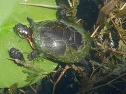 turtle time on a lily pad...