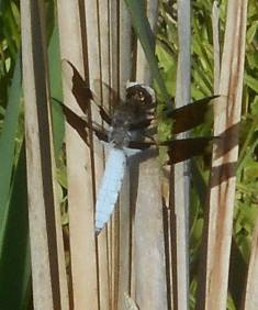whitetail dragonfly resting on a reed while clouds roam above and below...