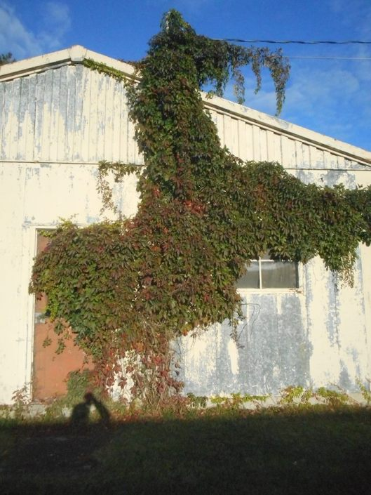 Hi Ho Silver - vines rearing on the side of a shed... 9-28-17